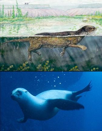 evolucion foca