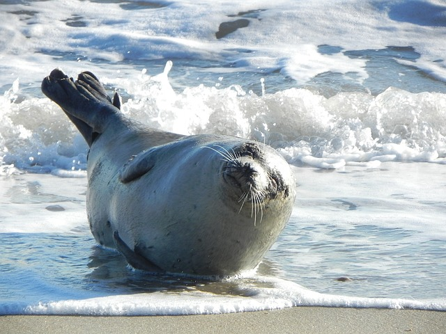 Anatomía de las focas » FOCAPEDIA